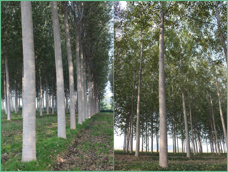 Alasia Franco Traditional Poplar Plantation