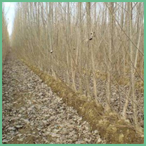 Alasia Franco Short Rotation Forestry