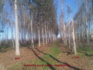 Pioppeto all'8 anno Pordenone- AF8 vs I 214- resistenza al vento